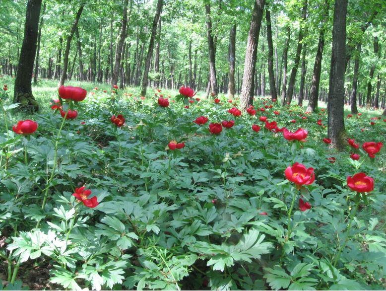 bujori rosii