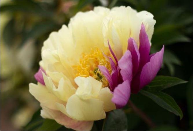 Bujorul – Floarea lunii mai – simbolul bogatiei si al prosperitatii